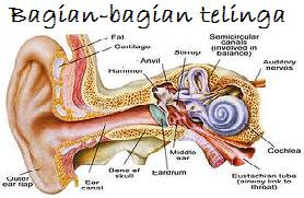bagian-bagian telinga