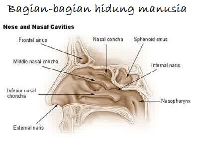 bagian-bagian hidung