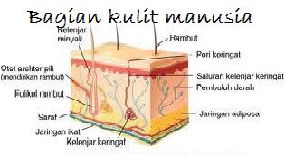 bagian kulit manusia