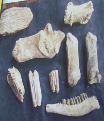 fosil di kedungbrubus triil